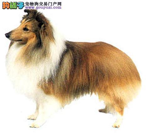 极品喜乐蒂出售 纯度第一品质第一 提供养狗指导