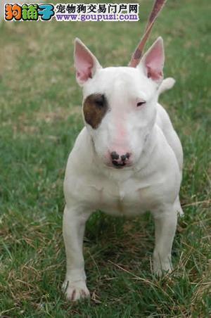 价格合理售纯种健康牛头梗幼犬 可签订购犬协议 实物