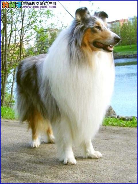 出售苏格兰牧羊犬 三色品相好 冠军级血系 公母都有