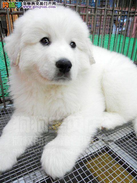 海南州出售纯种大白熊犬包养活身体健康非常活泼大白熊