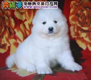 韩系白博美幼犬活体纯种宠物狗狗北京出售茶杯