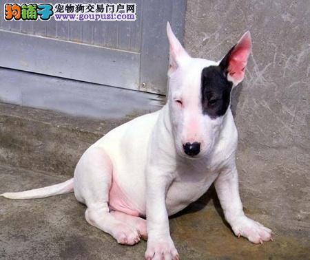 广州信誉狗场出售纯种牛头梗小狗,高品质幼犬