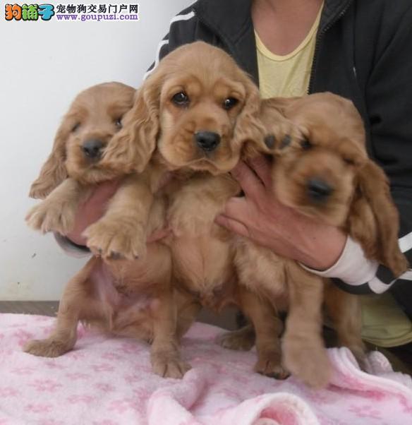 重庆哪里有卖可卡犬重庆可卡怎么卖重庆可卡价格
