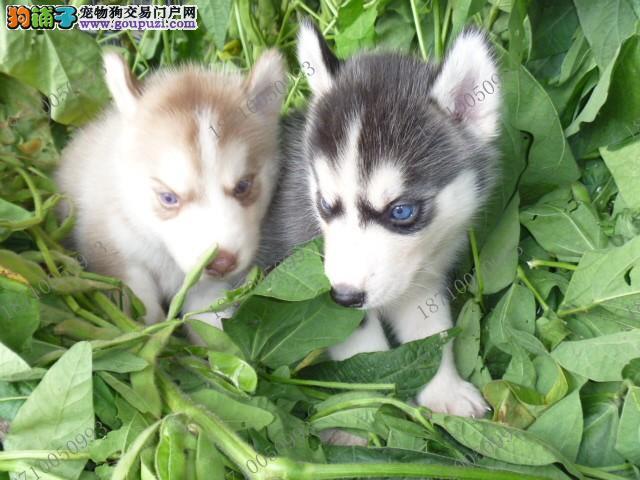 漳州售哈士奇幼犬 西伯利亚雪橇犬 二哈疫苗驱虫已做
