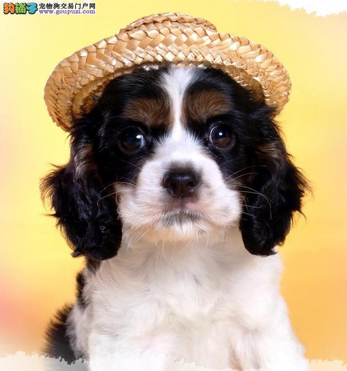纯种可卡幼犬多只2 3个多月的都有