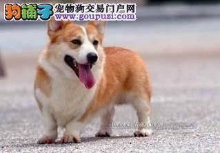 短腿绅士小柯基犬出售 签署合同实物拍摄免费饲养指导