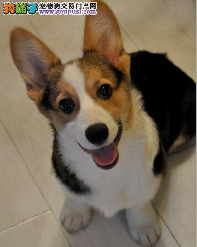 温州正规基地赛级双色柯基幼犬纯种保健康上门看父母