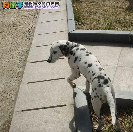 专业正规犬舍热卖优秀的武汉斑点狗终身质保终身护养指导