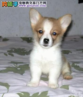 热销多只优秀的纯种柯基微信视频看狗