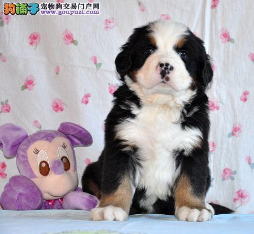 出售伯恩山幼犬 保纯种健康 签订协议 上门选购 包售后
