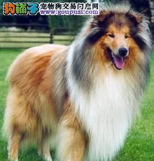 纯血统苏格兰牧羊犬幼犬包品质包纯种