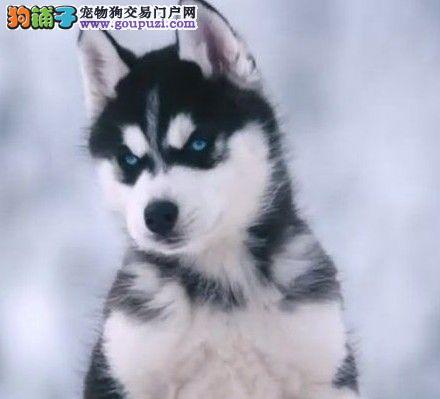 赤峰经典双蓝眼哈士奇雪橇犬出售健康二哈幼犬聪明包活