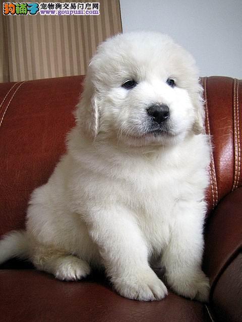 遵义自家繁育低价售雪兽系赛级大白熊幼犬骨骼大毛质好