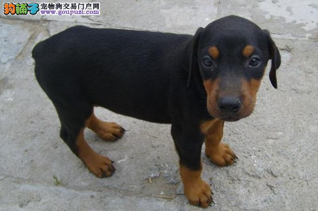 武汉出售杜宾犬幼犬 终身质保质量三包可签协议杜宾