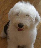 古代牧羊犬幼崽 白头同背价格实惠