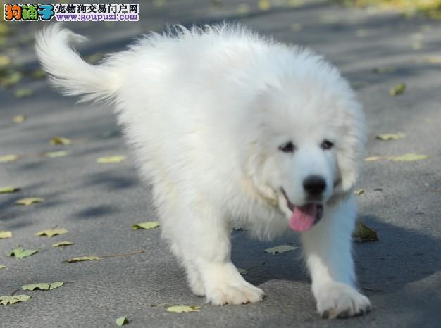 大骨架优质大白熊犬签订协议 北京周边送货上门