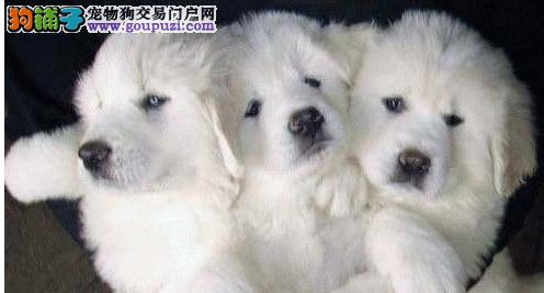 孝感纯种大骨量大白熊犬幼犬王者风范品相好保证健康