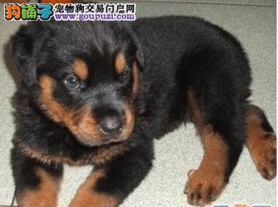 濮阳市出售罗威纳 保纯保健康 疫苗驱虫已做 可签协议