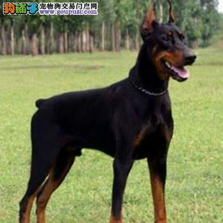 徐州顶级杜宾幼犬 断尾裁耳杜宾 完美身材