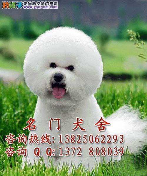 纯种比熊幼犬价格_【纯种比熊幼犬价格多少广州哪有卖比熊幼犬价
