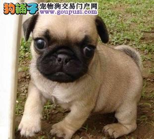 精品纯种石家庄巴哥犬哪里有卖质量三包国际血统认证