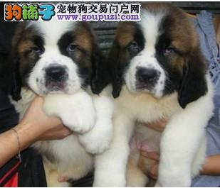 出售自家犬舍繁殖纯种圣伯纳幼犬 杭州欢迎上门看狗