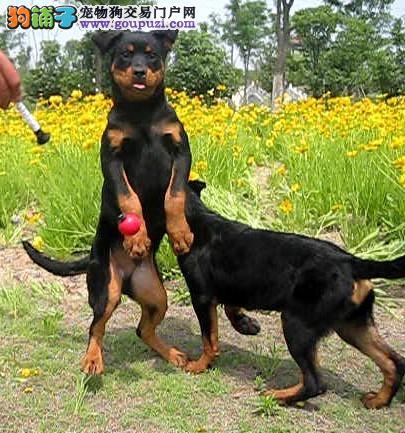 南京罗威纳犬出售 哪里有卖罗威纳的罗威纳价格