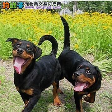 南京罗威纳犬出售 哪里有卖罗威纳的罗威纳价格3