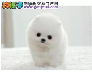 苏州自家繁殖茶杯犬出售公母都有喜欢来电咨询