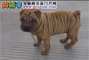 出售活泼可爱纯种宠物狗狗犬温顺憨厚沙皮幼犬