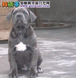 全市最低  纯种高品质卡斯罗幼犬出售