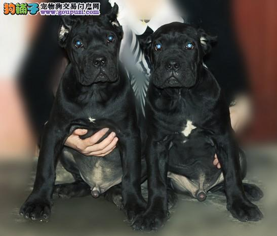 专业繁殖基地出售精品卡斯罗幼犬2