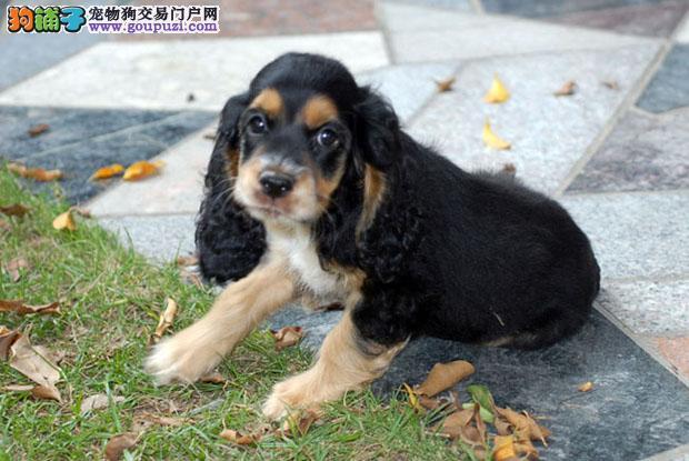 纯种英国美国可卡幼犬出售活泼可爱品相超好可当面挑