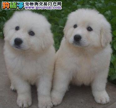 CKU认证纯种大白熊幼犬出售保健康3