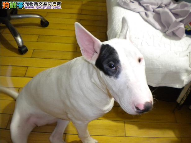 出售牛头梗幼犬 高品质 纯血统保健康 公母都有 签协议