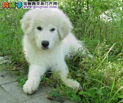 CKU认证纯种大白熊幼犬出售保健康2