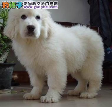 出售高贵文雅大白熊犬 广州纯种大白熊 大白熊犬价格