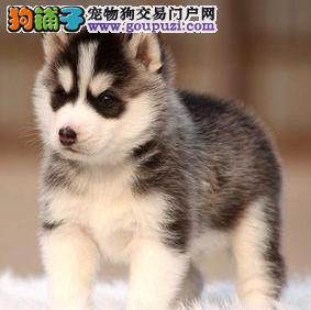 云浮纯种哈士奇幼犬帅气的西伯利亚雪橇犬幼犬血统纯种