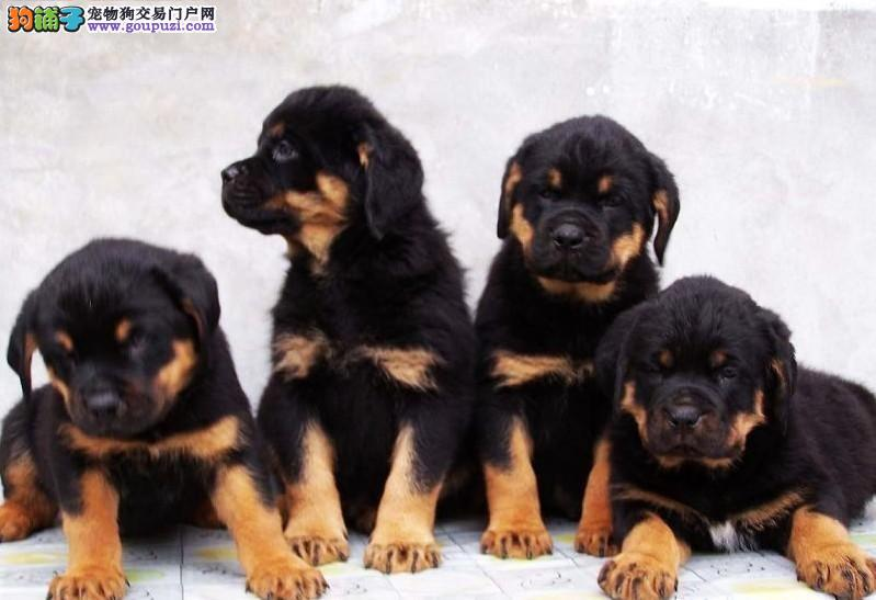 赛级品相罗威纳幼犬低价出售实物拍摄直接视频1