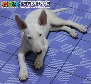 荆州售纯种赛级牛头梗幼犬疫苗驱虫已做可视频看狗