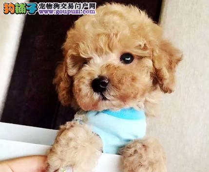 像布娃娃一样的 泰迪 可爱聪明泰迪熊宝宝2
