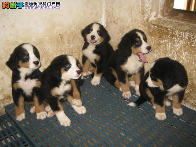 购买伯恩山犬时你需要了解哪些情况