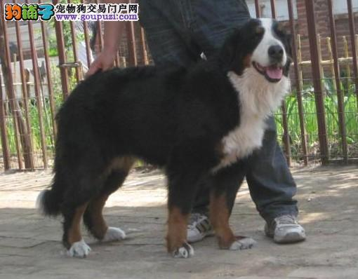 上海极品聪明伯恩山犬有售 优惠纯种健康伯恩山幼犬