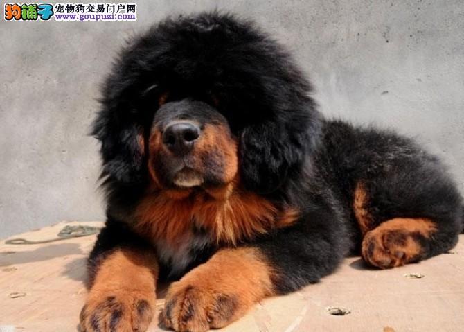 极品大狮头藏獒幼犬出售 价格合理 可预订