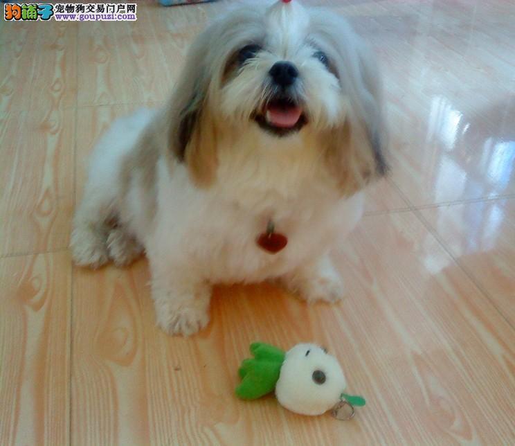 出售聪明伶俐西安西施犬品相极佳以品质惊世人1