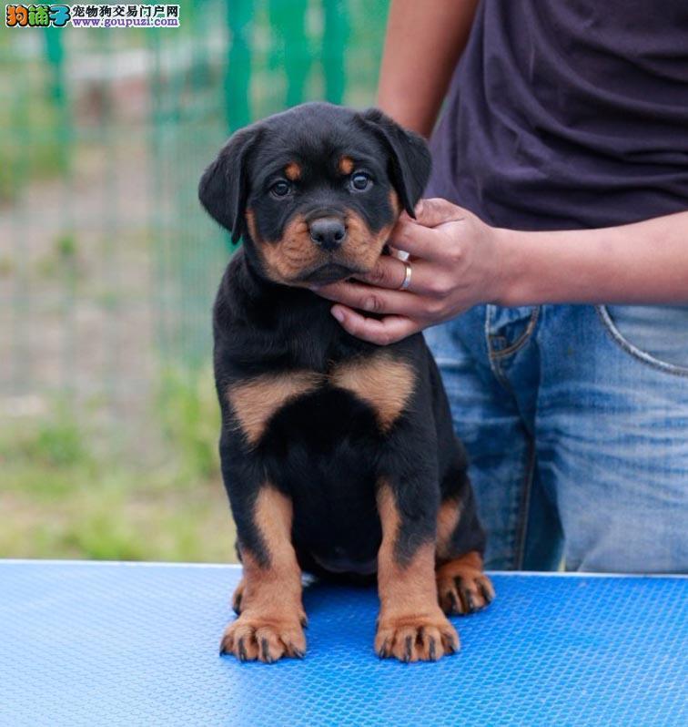 公母均有的通辽罗威纳找爸爸妈妈购犬可签协议