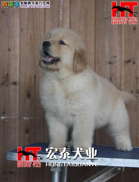 双血统金毛 签合同保纯种保健康 北京送狗上门挑选3