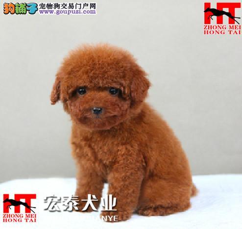 犬舍直销迷你/玩具/茶杯小泰迪宝宝 FCI认证犬业。2