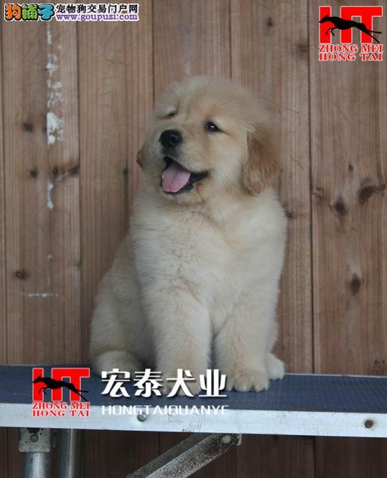 双血统金毛 签合同保纯种保健康 北京送狗上门挑选2