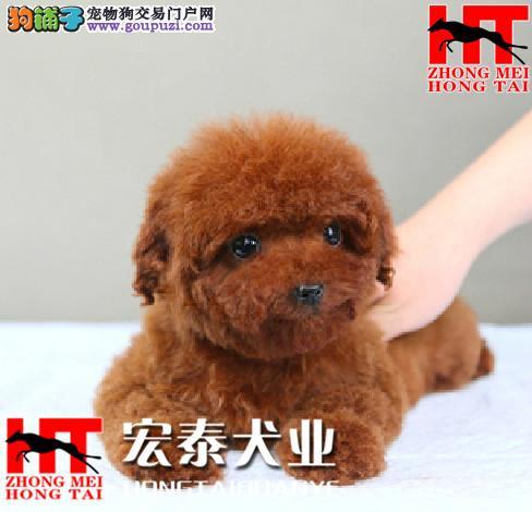 犬舍直销迷你/玩具/茶杯小泰迪宝宝 FCI认证犬业。3